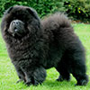 Chow-chow CHERRYMOUNT GOOD TO BE BLACK FOR LECHAN