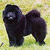 Chow-chow ORINELL'S AMY THE BLACK PRINCES