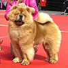 Chow-chow RENDEL REBEL ROUSER