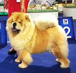 Chow-chow Drop Happy Djalo