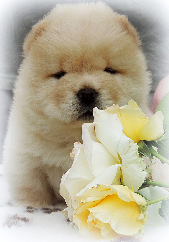 Chow-chow puppy cream boy