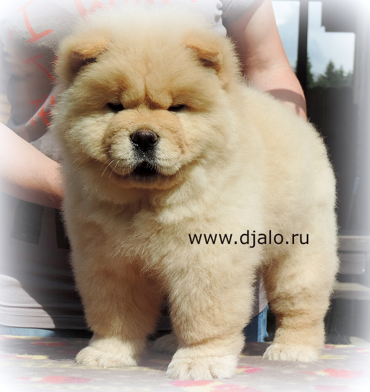 Chow-chow puppy cream male Sensational Kiss Djalo