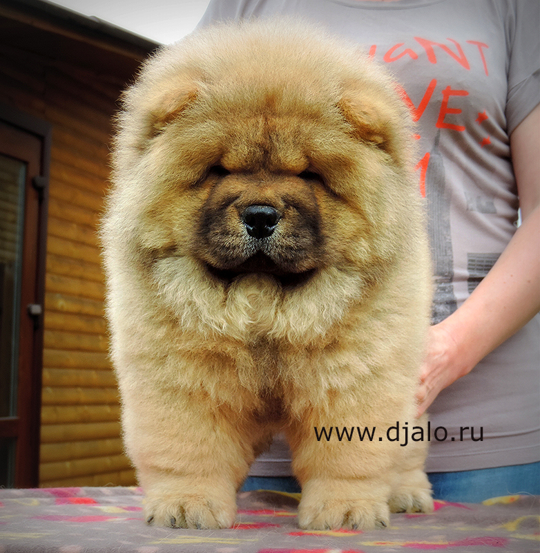 Chow-chow puppy red girl Sky Dream Djalo