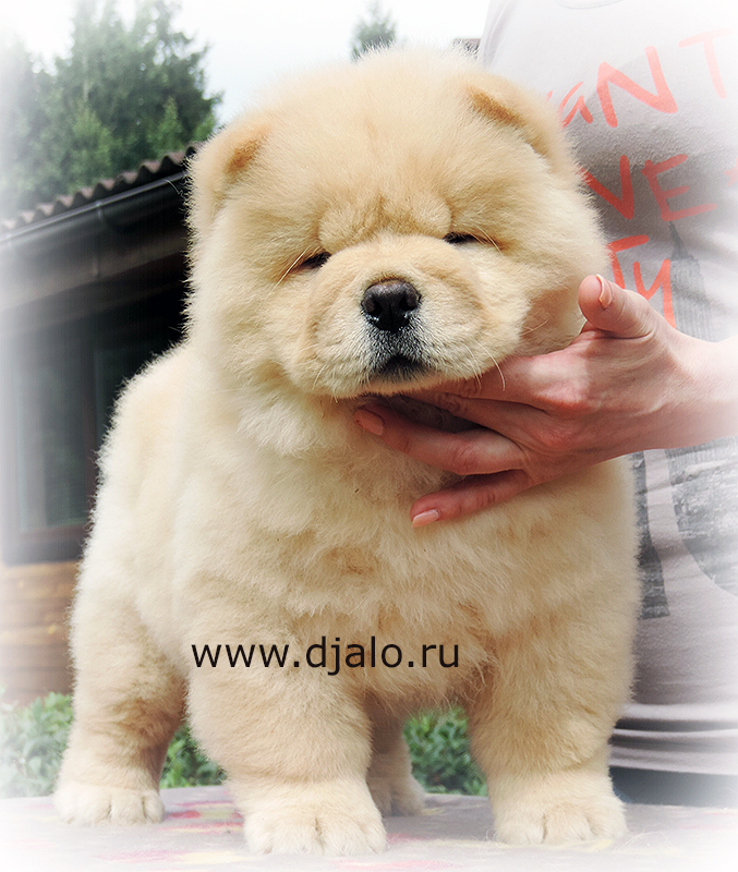 Chow-chow puppy cream male Sugar Candy Djalo