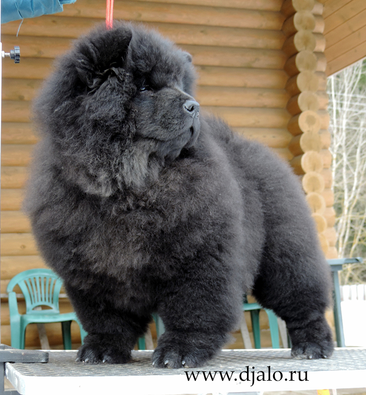 Chow-chow puppy black girl (yellow ribbon) Tender Passion Djalo