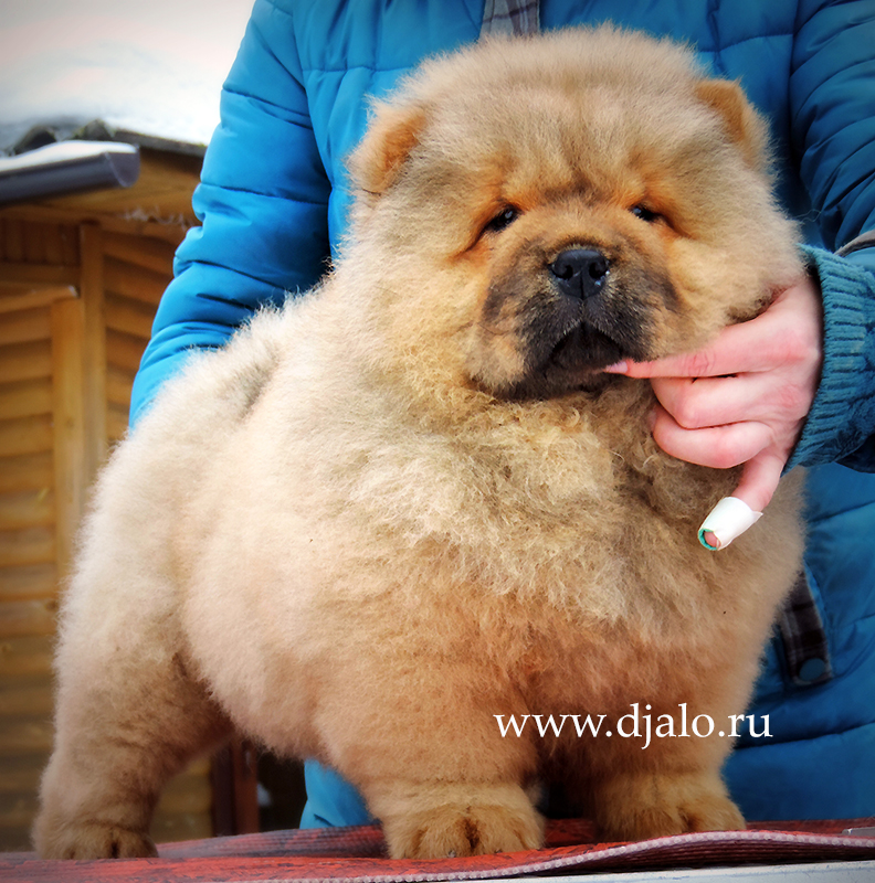 Chow-chow puppy red girl Taste of Honey Djalo