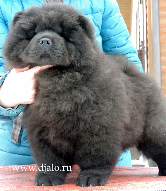 Chow-chow puppy black girl (red ribbon) Tropical Paradise Djalo
