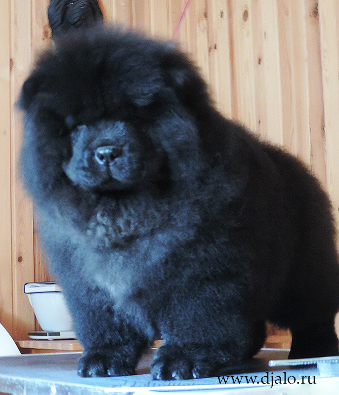 Chow-chow puppy black girl (green ribbon) Tattoo for Luck Djalo