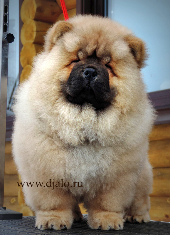 Chow-chow puppy red male True Leader Djalo