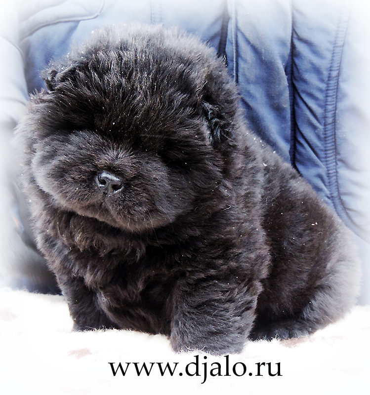 Chow-chow puppy black girl (blue ribbon) Tip-Top Fashion Djalo