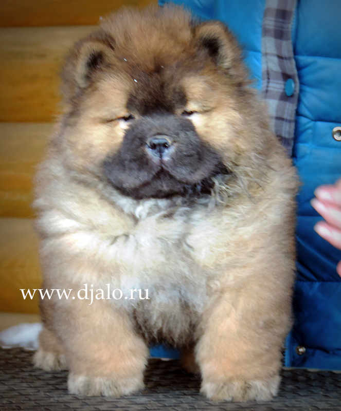 Chow-chow puppy red girl Ulla Lala Djalo