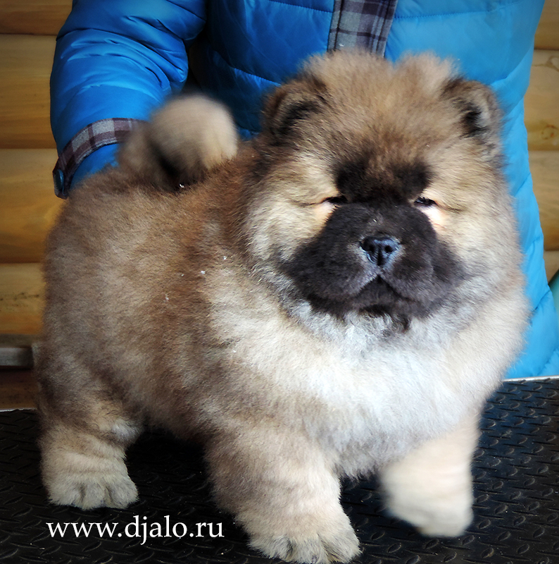 Chow-chow puppy red male Uncommon Red-Pearl Djalo