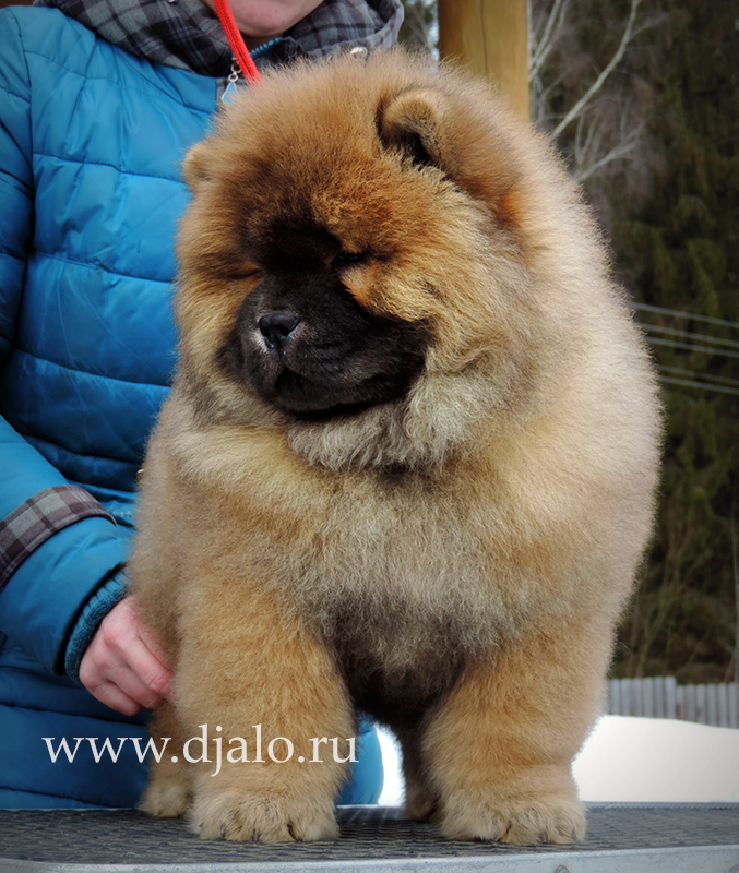 Chow-chow puppy red male Unreal Pleasures Djalo