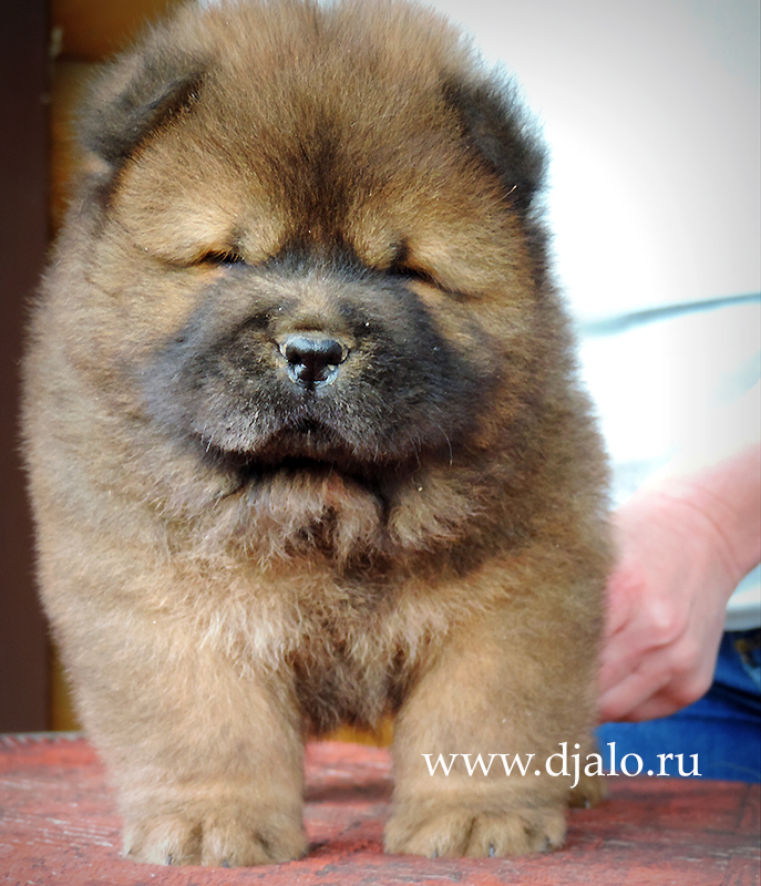 Chow-chow puppy red boy 3