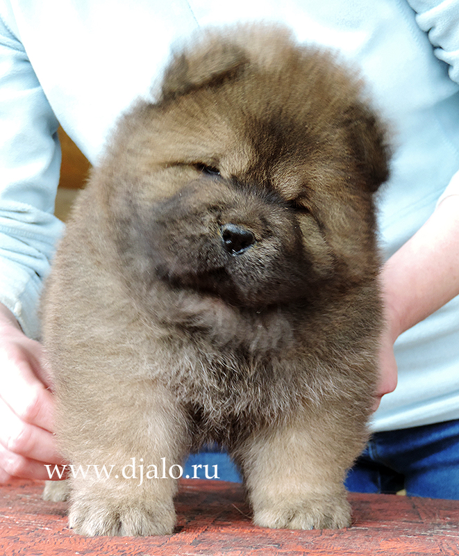 Chow-chow puppy red girl 1