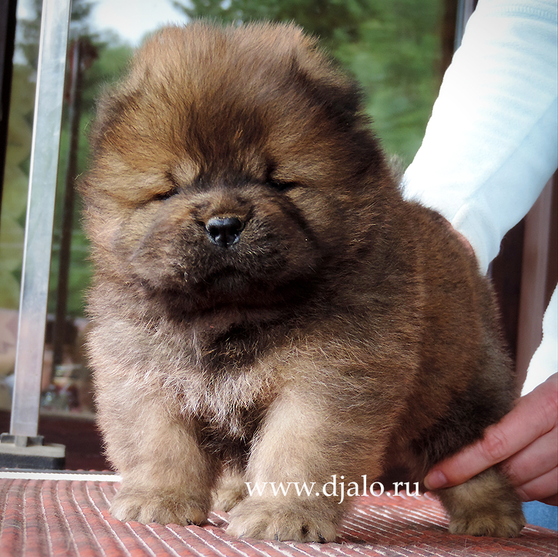Chow-chow puppy red girl 2