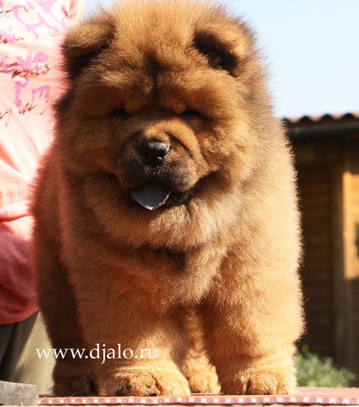 Chow-chow puppy red boy Charming Dream Djalo