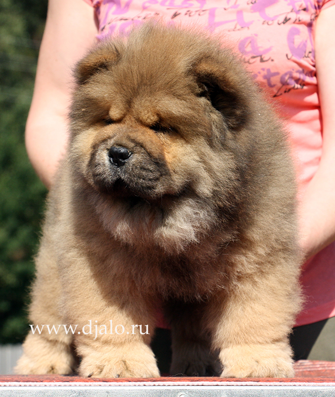 Chow-chow puppy red girl Cherry Blossom Djalo