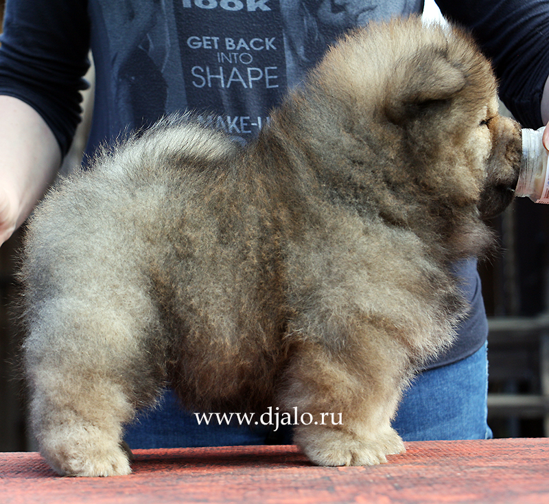 Chow-chow puppy red girl Chio-Chio Sun Djalo