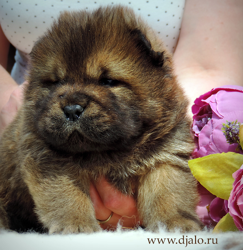 Chow-chow puppy red boy 1
