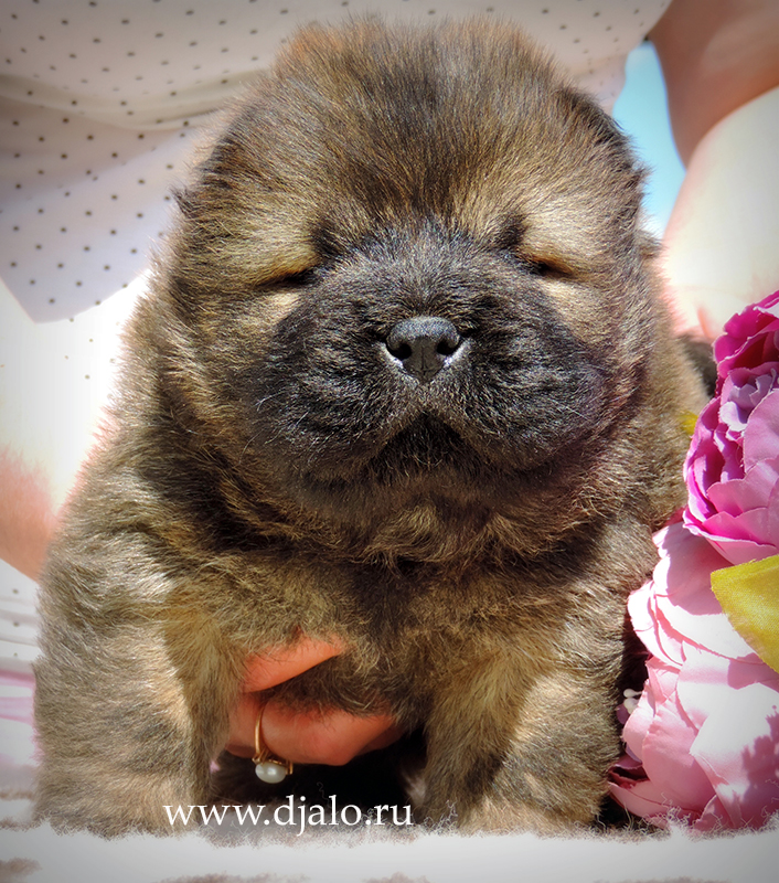 Chow-chow puppy red boy 2