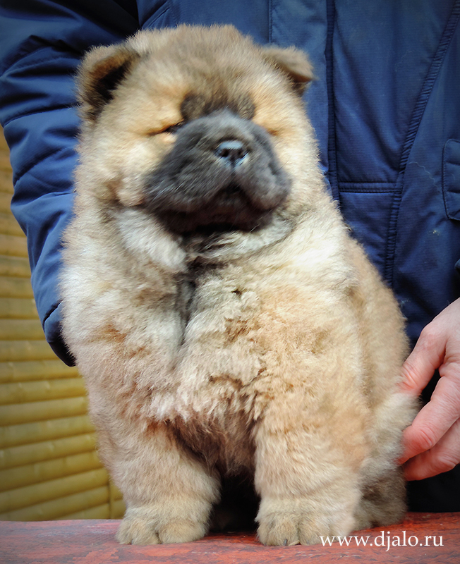 Chow-chow puppy red girl Flaming Coquette Djalo