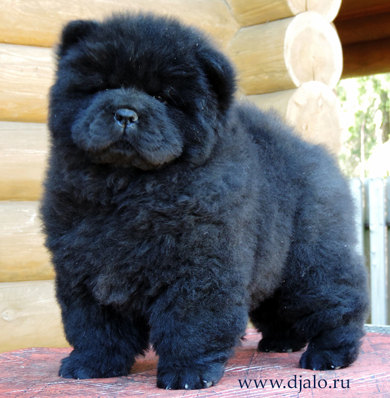 Chow-chow puppy black girl F-By Black Djalo