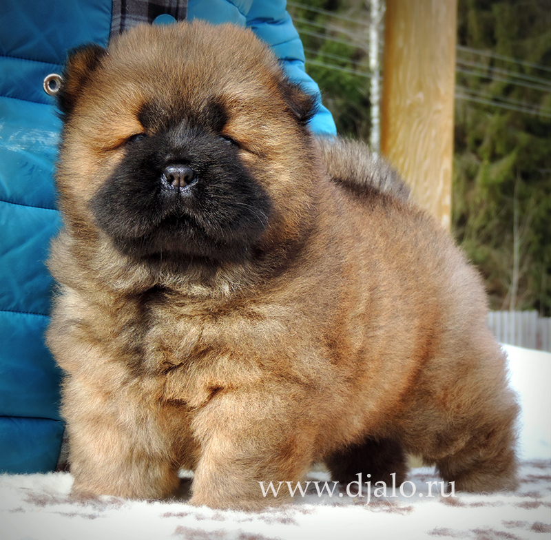 Chow-chow puppy red girl Faina Fayna-na Djalo