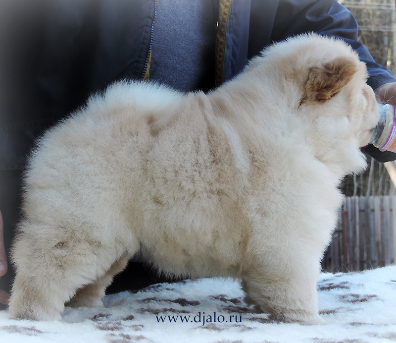 Chow-chow puppy cream girl Heavenly Light Djalo